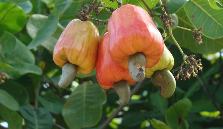 cashew farming in nigeria